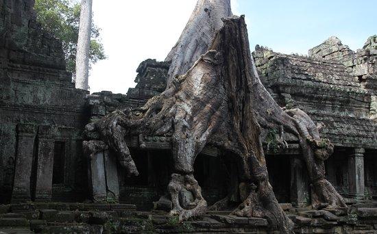 Name:  Preah khan drvo.jpg Views: 177 Size:  48.9 KB